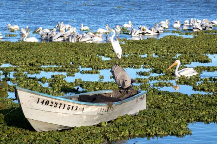 Pelicanos borregones Foto Pablo A Arias 10