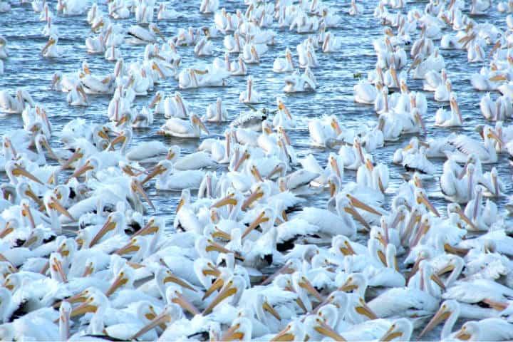 Pelicanos borregones Foto Pablo A Arias 11