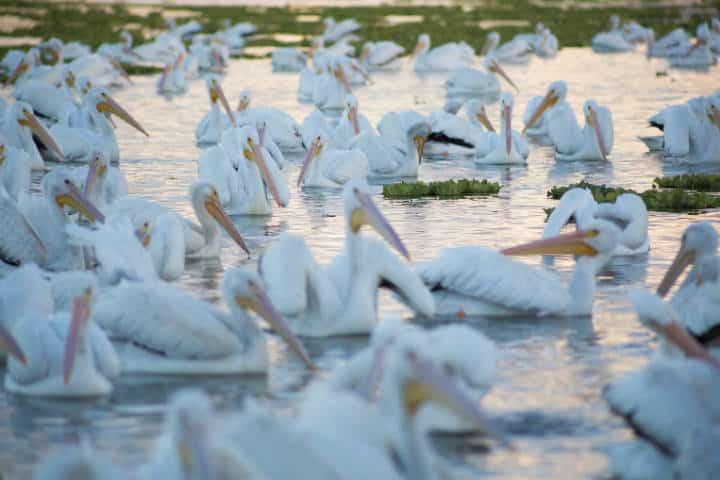 Pelicanos borregones Foto Pablo A Arias 12