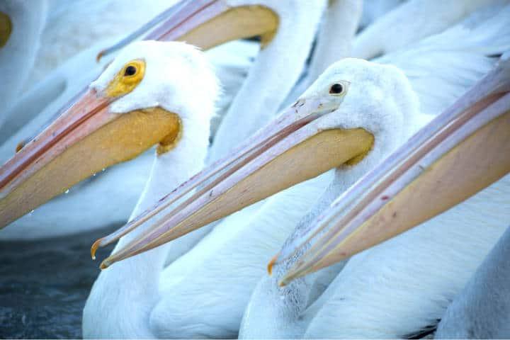 Pelicanos borregones Foto Pablo A Arias 14