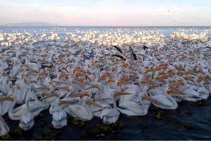 Pelicanos borregones Foto Pablo A Arias 16