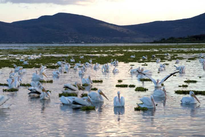 Pelicanos borregones Foto Pablo A Arias 3