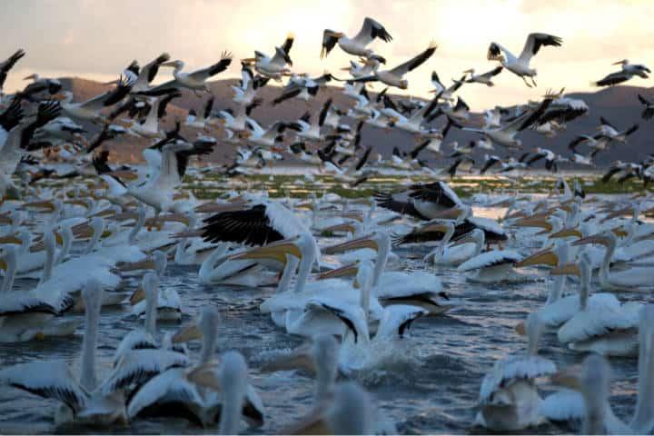 Pelicanos borregones Foto Pablo A Arias 5