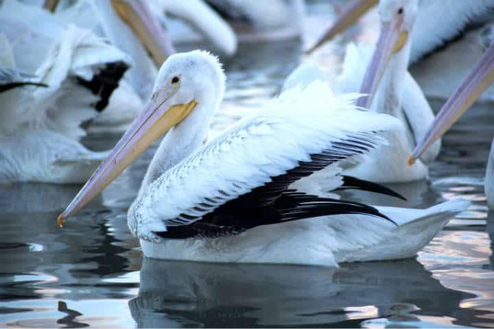 Pelicanos borregones Foto Pablo A Arias 8