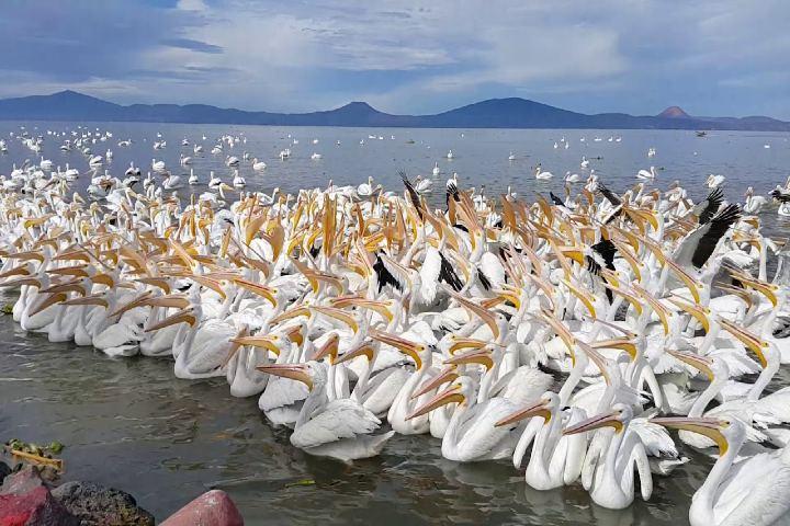 Turismo Guadalajara Foto: Migración de pelicanos en Michoacán