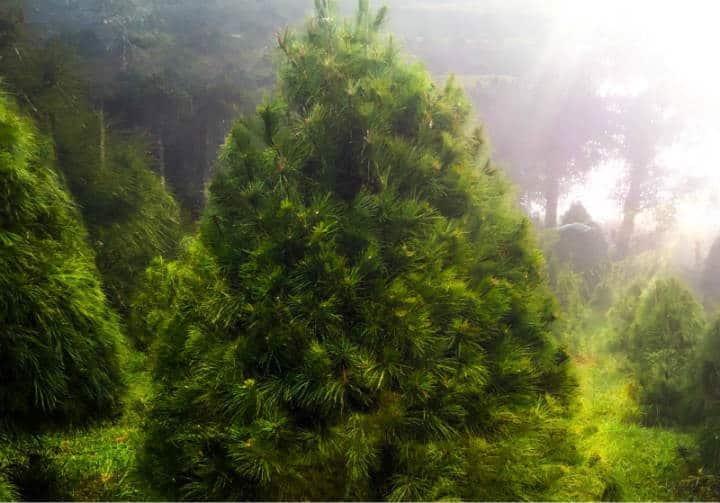 bosque-del-ciclo-verde-arboles-navidad-middle2