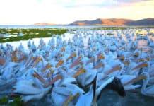 portada Pelicanos borregones Foto Pablo A Arias 1