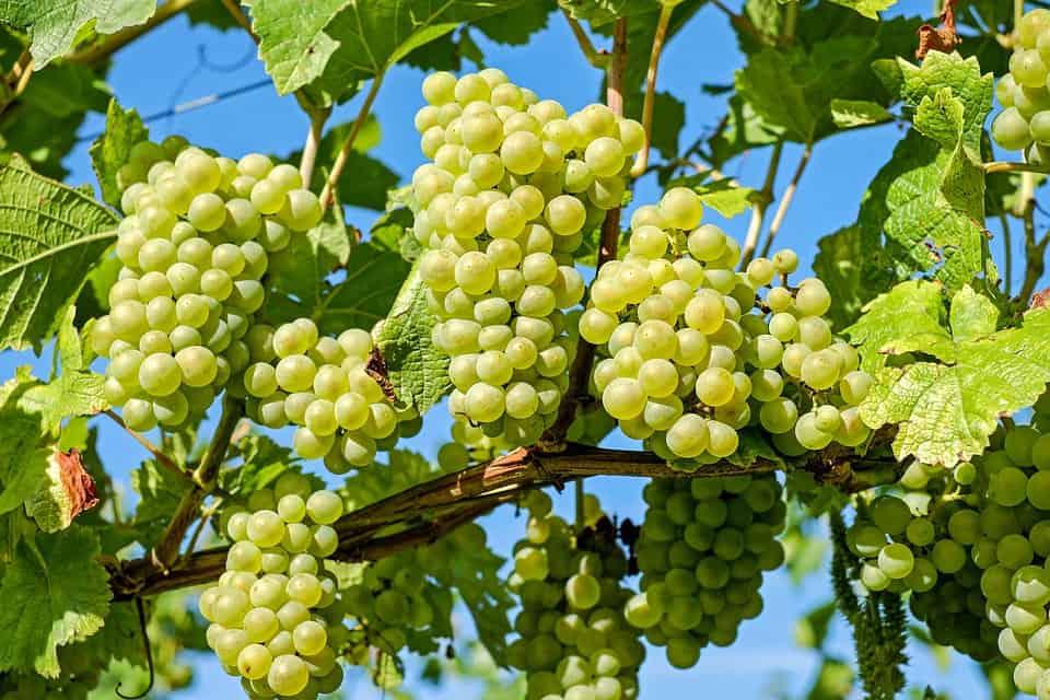 Las-características-uvas-para-pedir-deseos-Foto-Archivo-2