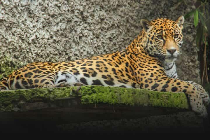 El Nido jaguar Foto El Nido 3