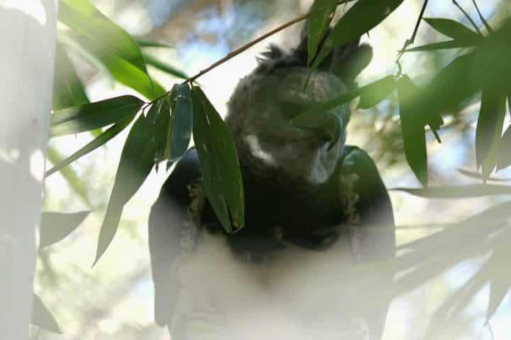 El nido Aguila Arpía foto el Nido Gilberto Torres