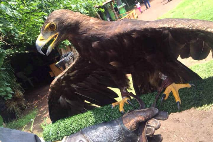 El nido Aguila Real foto el Nido Kenibd
