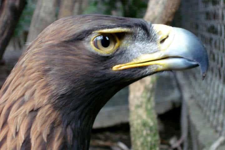 El águila es extraordinaria, Foto: Archivo