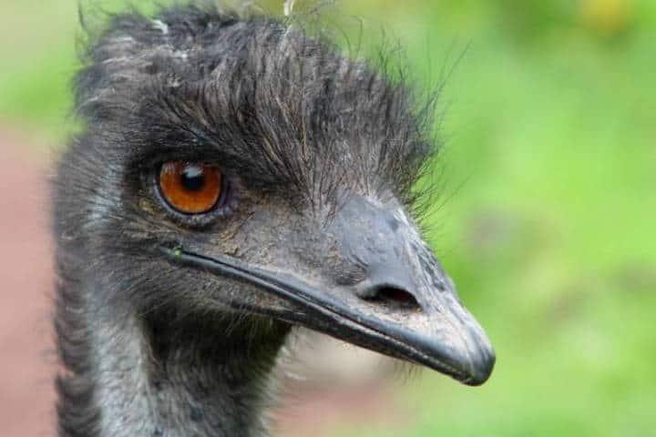El nido emus foto el Nido