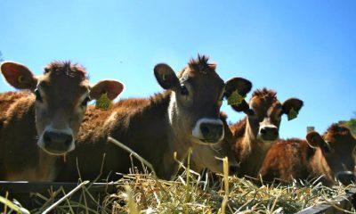 Rancho quesero Foto Flor de alfalfa 38