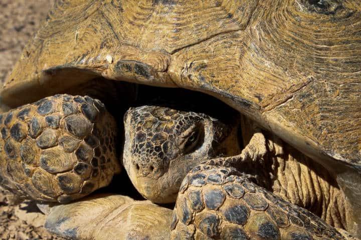 Mapimi tortuga llanera desierto Foto Naturalista