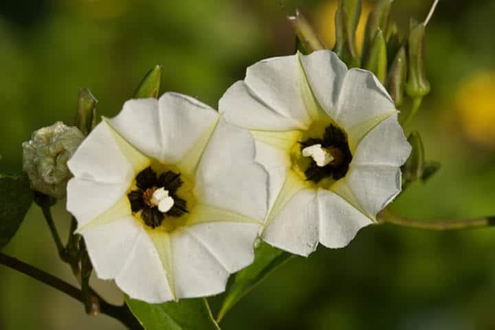 Leyenda Ixtabentún Flor Foto Archivo copia