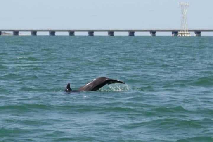 Delfines Isla Aguada Campeche Foto Don Pasita 6
