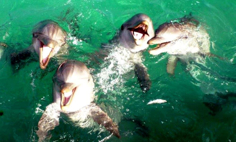Delfines Isla Aguada Campeche Foto Don Pasita