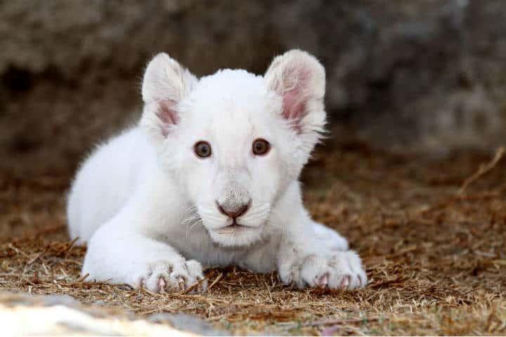 Leones Blancos Zoológico Tlaxcala Foto Nerida Mora