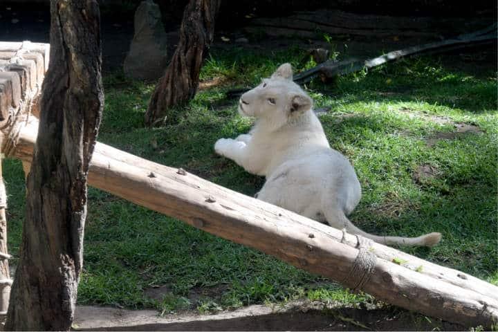 Leones blancos Zoológico Tlaxcala 1