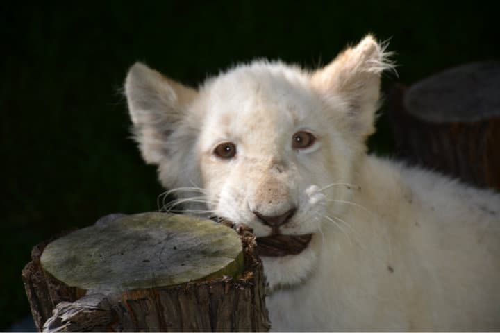 Leones blancos Zoológico Tlaxcala 10