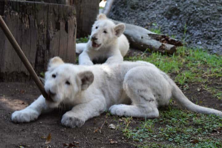Leones blancos Zoológico Tlaxcala 2