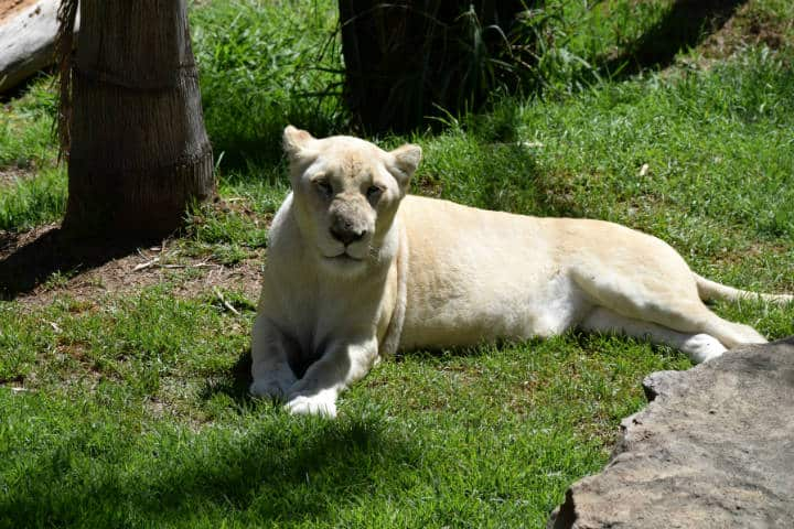 Leones blancos Zoológico Tlaxcala 9