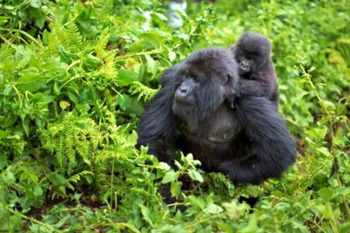Parque de gorilas en Ruanda. Foto Jose Ramirez.