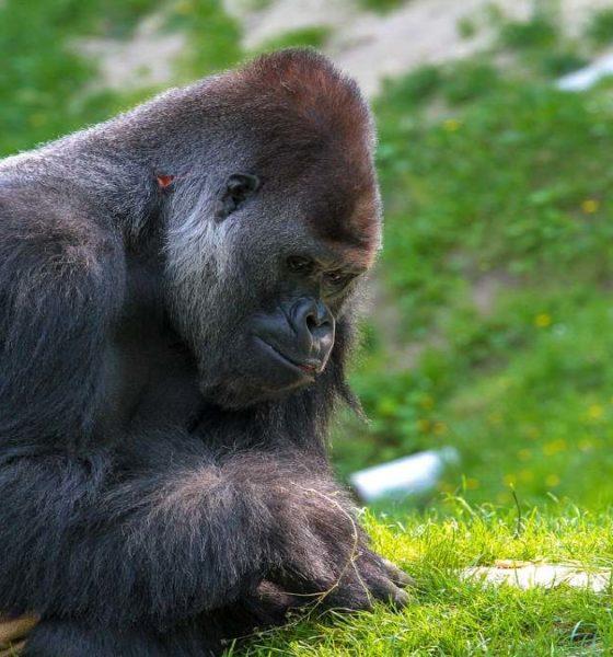 Parque de gorilas en Ruanda. Foto Pixabay.
