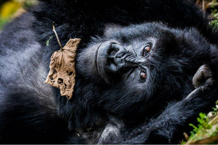 Parque de gorilas en Ruanda. Foto. Hotbook.1