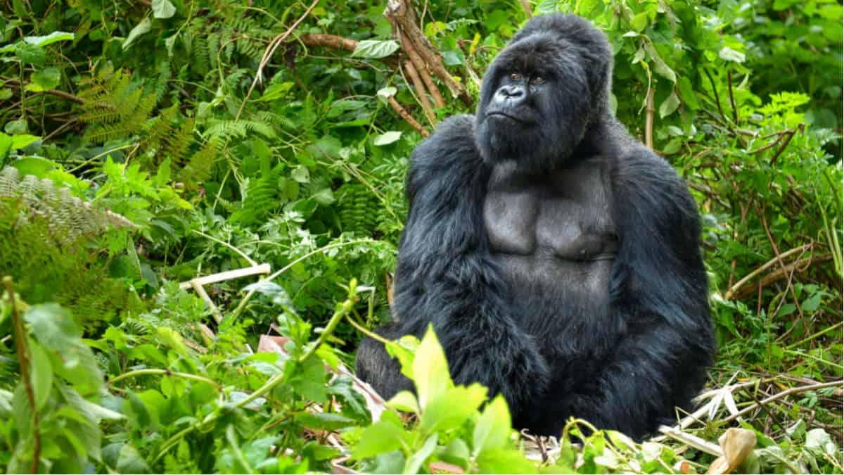 Portada. Parque de gorilas en Ruanda. Foto. El Ágora