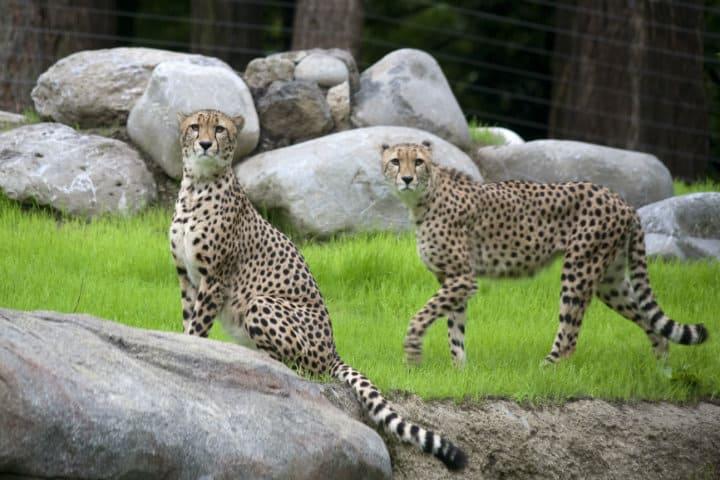 cheetas zoo