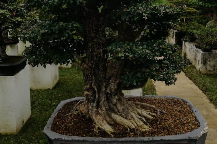 museo del bonsai fortin