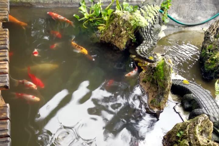 peces koi museo tatsugoro