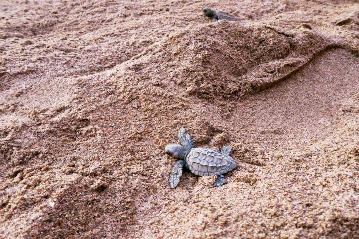 tortugas sayulita