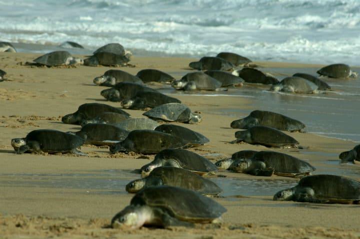 tortugas en mazunte