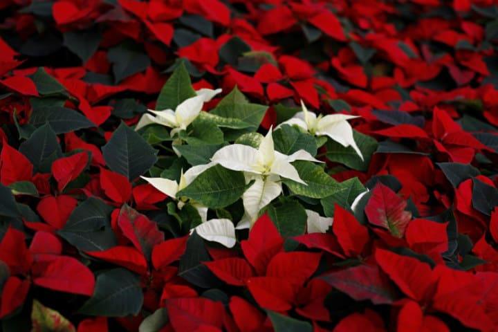 ¿Por qué la flor de Nochebuena tiene ese nombre?. Foto Latin times