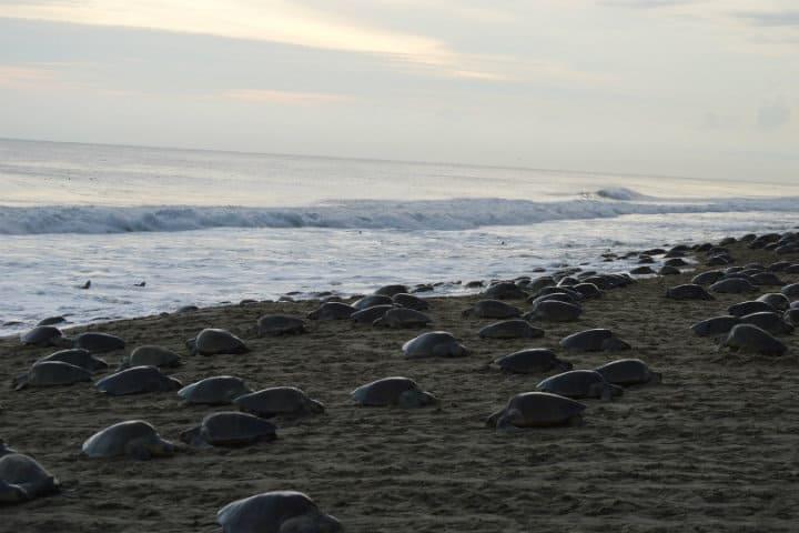 santuario la escobilla tortugas