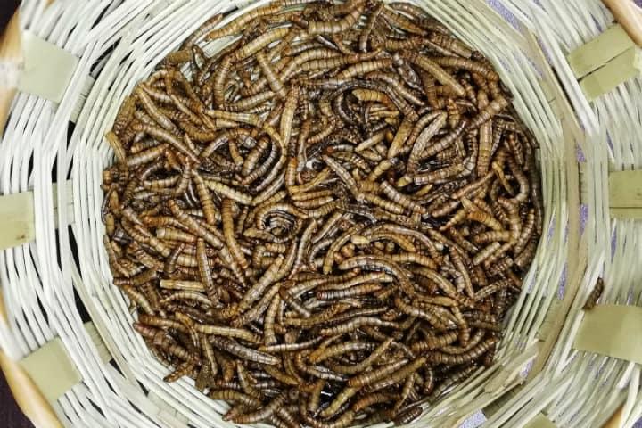 gusanos de maguey