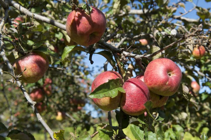 manzanas de zacatlán