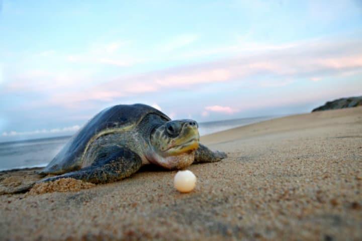 tortuga marina michoacan