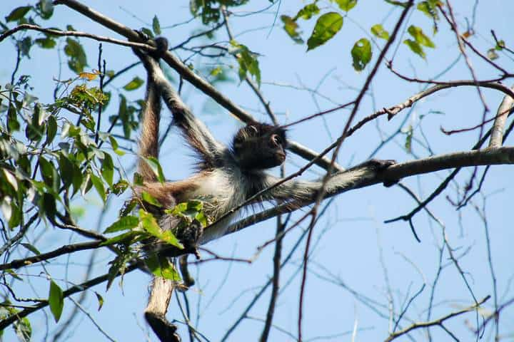 Mono araña. Foto Rosa Maria Vidal