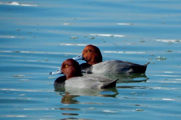 Rio Sabinas Coahuila Foto APRN Aythya americana - pato cabeza roja