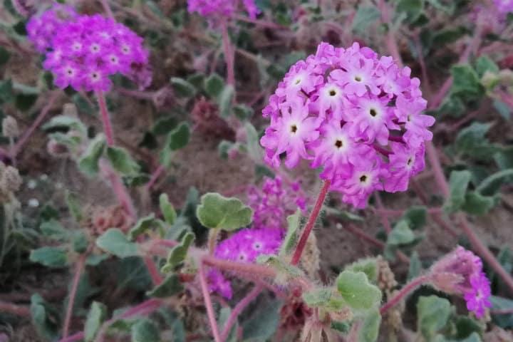 flores san felipe