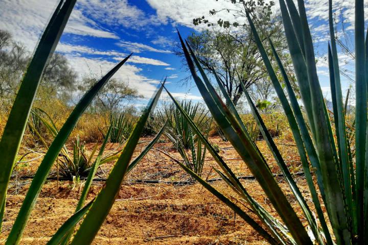 El Bacanora Sonora Foto El Souvenir 2