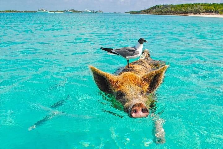 Exuma además de ser un paraíso tropical es hogar de decenas de cerditos Foto: Surfing The Planet