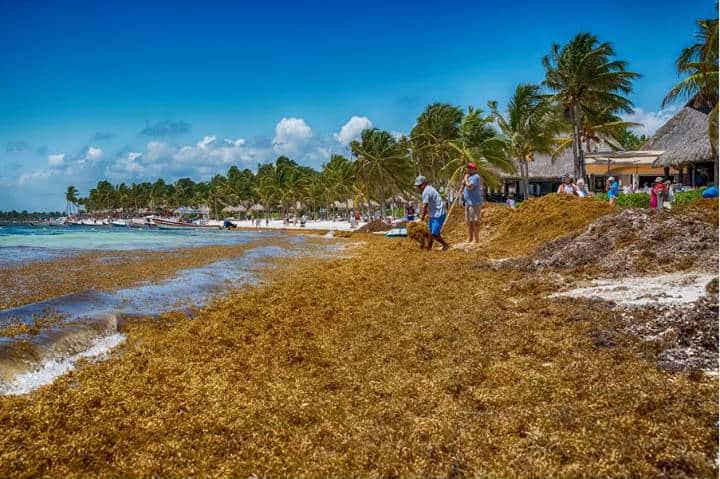 Sargazo Caribe Mexicano Foto Red de Monitoreo CUN 6