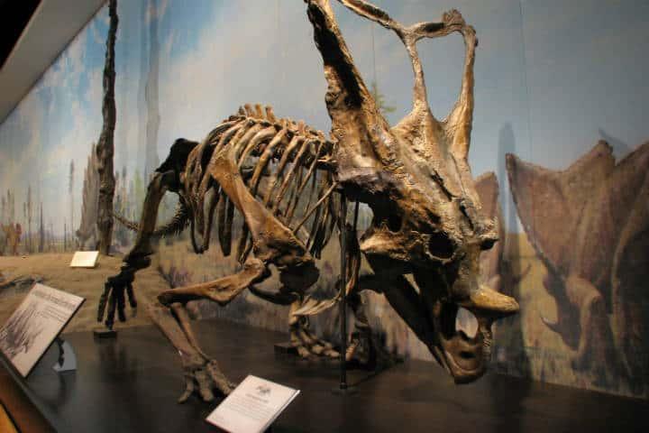 Royal Tyrrel Museum Chasmosaurus Belli Foto Ceasol