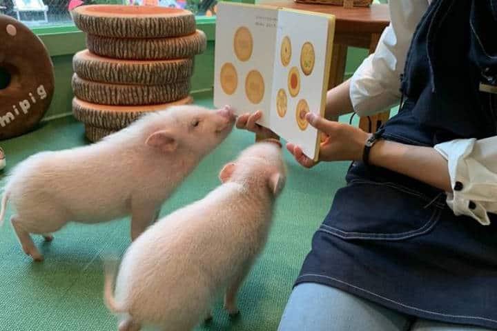 Cafetería Mipig en Japón. Actividades. Imagen. Mipig cafe 4