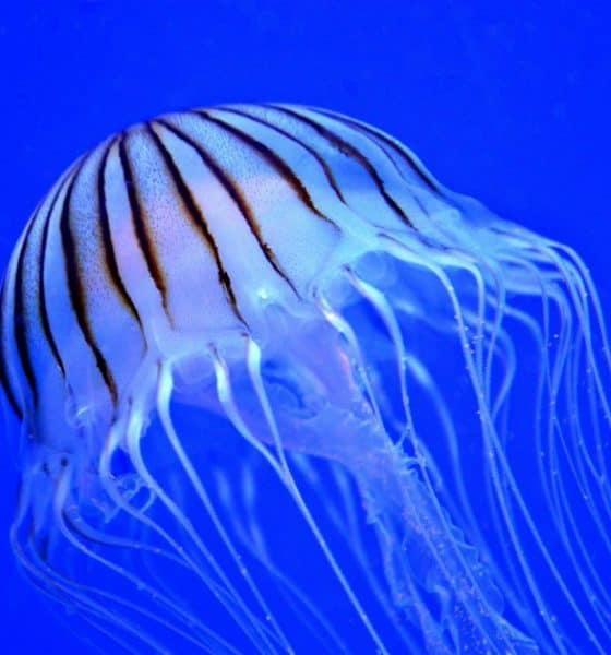 Medusas Foto. Pixabay